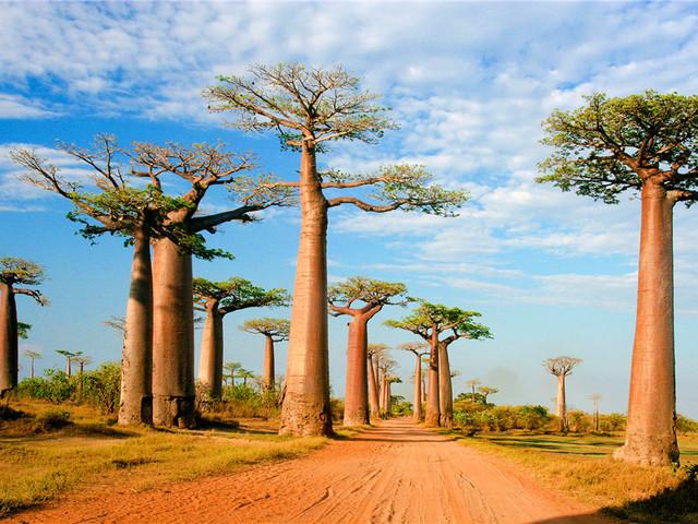 神奇的马达加斯加:猴面包树