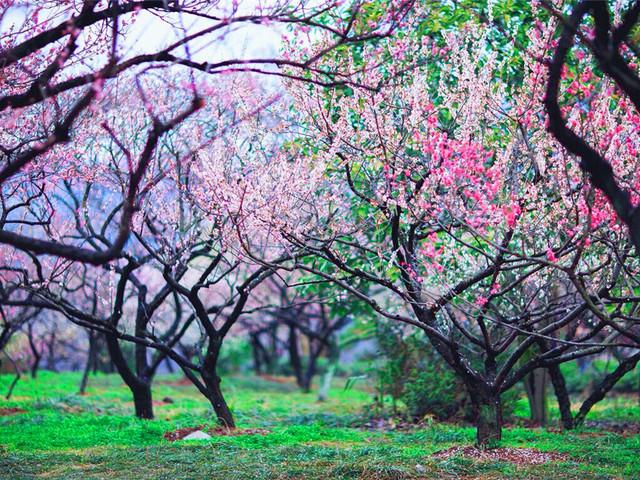 上海—大观园梅园